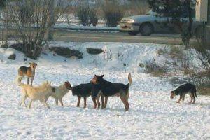 Sokba került a kóbor kutyák befogása Hortnak