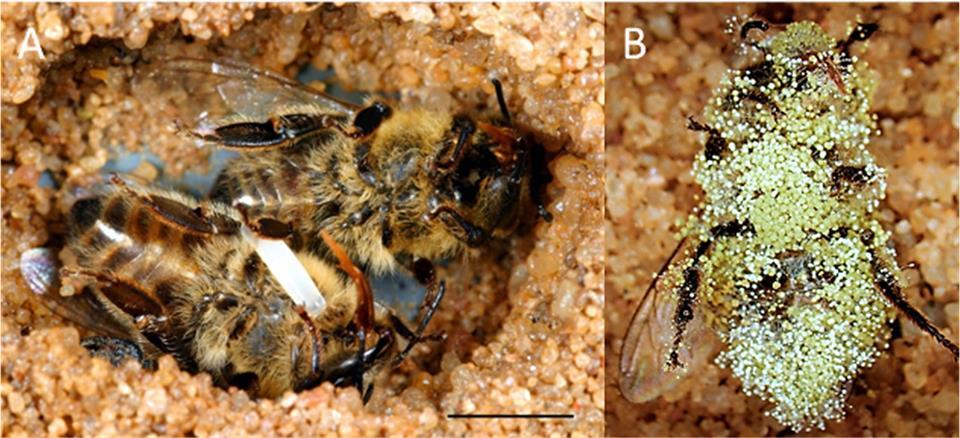 A méhfarkas